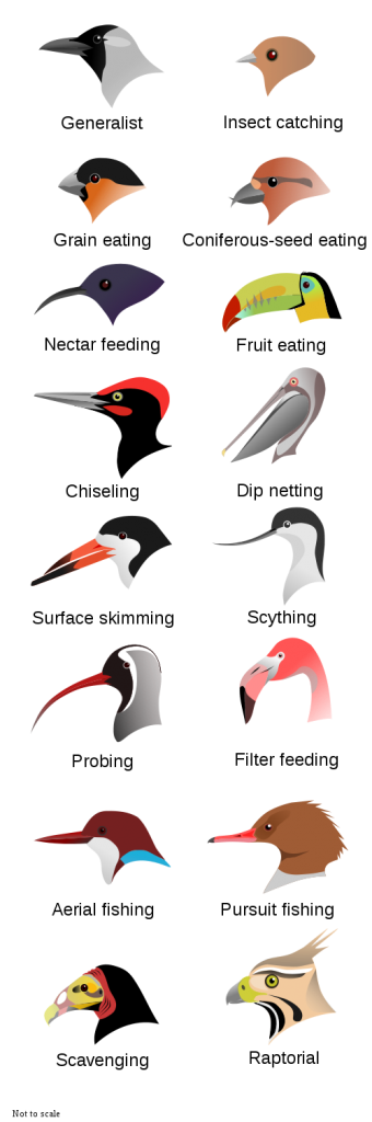 Figure 6.50: The image above shows various beak types adapted for different diets. Image from URL: http://commons.wikimedia.org/wiki/File:BirdBeaksA-de.svg