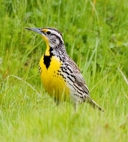 Figure 6.1: The Western Meadowlark, Sturnella neglecta, is the state bird of Montana. Image from URL: http://commons.wikimedia.org/wiki/File:Western_Meadowlark.jpg
