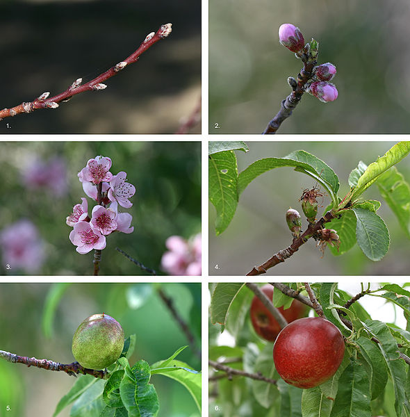 Figure 7.23: The development sequence of a typical drupe, the nectarine, over a 7.5 month period, from bud formation in early winter to fruit ripening in midsummer. 1. Bud formation can be observed on new growth on the plant (early winter). 2. Flower buds clearly formed and leaves start to develop (early spring, ~ 3 months). 3. Flowers fully develop and are pollinated by wind or insects (early spring, ~ 3 1/2 months). 4. If successfully pollinated, flowers die back and incipient fruit can be observed; leaves have quickly grown to provide tree with food and energy from photosynthesis (mid-spring, ~ 4 months). 5. Fruit is well-developed and continues to grow (late spring, ~ 5 1/2 months). 6. Fruit fully ripens to an edible form to encourage spreading of seed contained within by animals (midsummer, ~ 7 1/2 months). Image from URL: http://en.wikipedia.org/wiki/File:Nectarine_Fruit_Development.jpg