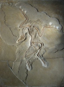 Figure 6.42: An Archaeopteryx fossil specimen displayed at the Museum für Naturkunde in Berlin. Image from URL:http://en.wikipedia.org/wiki/File:Archaeopteryx