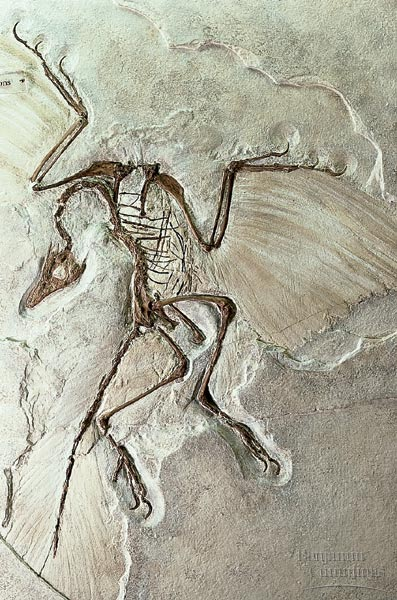 Figure 6.71: A second Archaeopteryx specimen clearly shows both wing and tail feathers. Image from URL: http://kentsimmons.uwinnipeg.ca/16cm05/1116/34-27x-ArchaeopteryxFossil.jpg