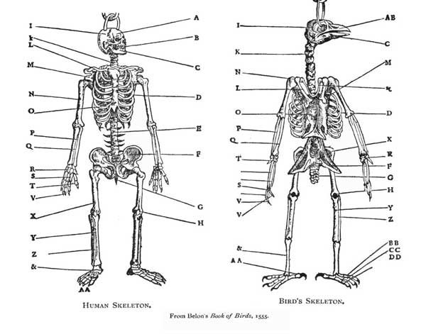 bird anatomy : montana science partnership, Skeleton