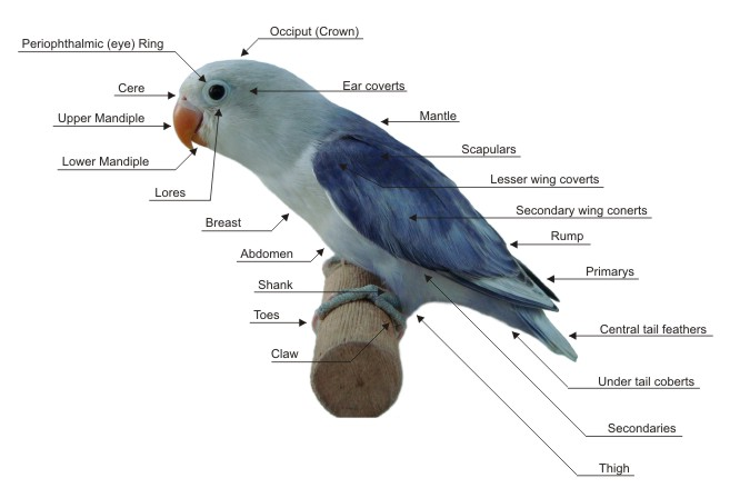 Figure 6.35: The image above illustrates standard bird body parts. Image from URL: http://rafeeuslovebirds.com/Pictures/Bird%20diagram.JPG
