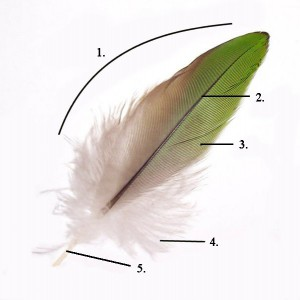 Figure 6.48: The image above shows the parts of a contour feather. Image from URL: http://en.wikipedia.org/wiki/File:Parts_of_feather_modified.jpg