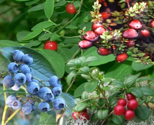 Figure 7.25: Berries are an example simple fleshy fruit. From top right: cranberries, lingonberries, blueberries red huckleberries. Image from URL: http://en.wikipedia.org/wiki/File:Vaccinium.jpg