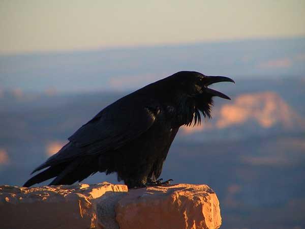 Figure 6.27: American Raven. Image from URL: http://en.wikipedia.org/wiki/File:Corvus_corax_(NPS).jpg