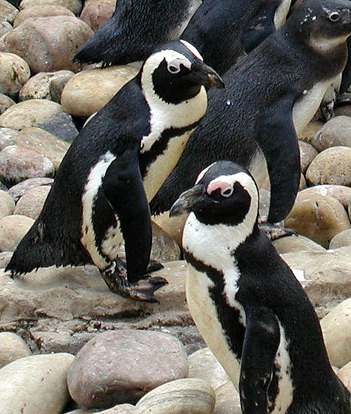 Figure 6.13: African Penguin. Image from URL: http://en.wikipedia.org/wiki/File:508px-African.penguin.bristol.750pix_(Pingstone).jpg