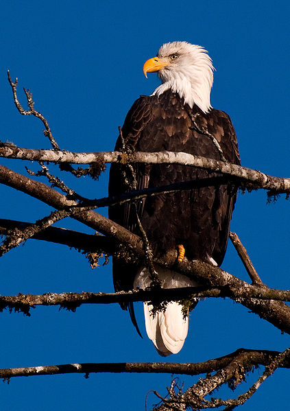 Figure 6.25: American Bald Eagle. Image from URL: http://en.wikipedia.org/wiki/File:Haliaeetus_leucocephalus_-Skagit_valley-8-2c.jpg