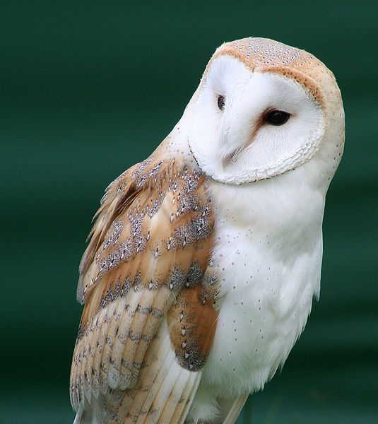 Figure 6.21: Barn Owl. Image from URL: http://en.wikipedia.org/wiki/File:Tyto_alba_close_up.jpg