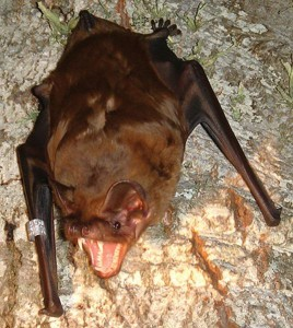 Figure 6.66: Predators like the Greater Noctule Bat are attracted to the large numbers of migrating birds and will often snatch hapless passerines on their way. Image from URL: http://en.wikipedia.org/wiki/File:GreaterNoctule.JPG