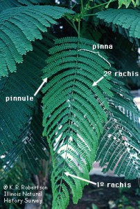 Figure 7.10: This is a bipinnately compound leaf of Delonix regia, royal poinciana. A bipinnately compound leaf is divided twice: each leaflet is subdivided into smaller leaflets. The pinna (pl. pinnae) is the name of the first division. The pinnule is the name of the ultimate division. The pinnae are on the primary rachis, while the pinnules are on the secondary rachis. Image from URL: http://www.life.illinois.edu/