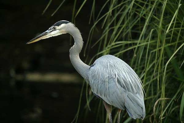 Figure 6.28: Great Blue Heron. Image from URL: http://en.wikipedia.org/wiki/File:Lightmatter_greatblueheron2.jpg