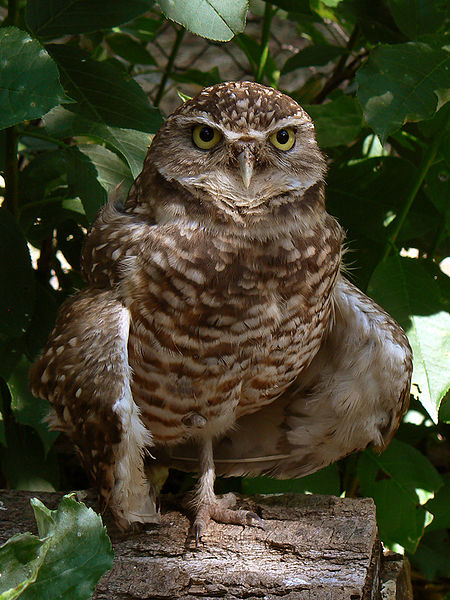 Figure 6.23: Burrowing Owl. Image from URL: http://en.wikipedia.org/wiki/File:Burrowing_Owl3.jpg