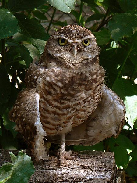 Figure 6.23: Burrowing Owl. Image from URL: http://en.wikipedia.org/wiki/File:Burrowing_Owl3.jpg