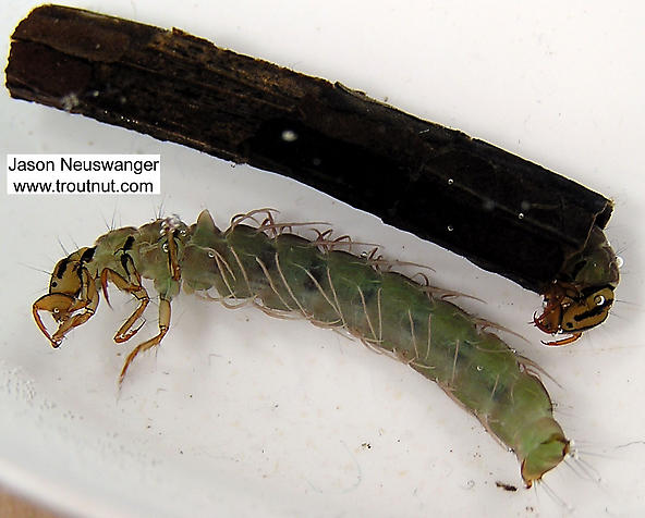 Figure 8.13: A case-building caddifly, both in and out of a case. Image from URL: http://www.troutnut.com/specimen/311