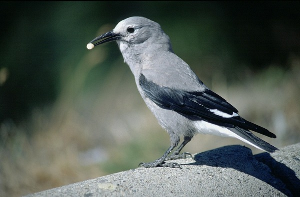 Figure 6.19: Clark's Nutcracker. Image from URL: http://www.kahle.org/tweeters/images/clarks.jpg