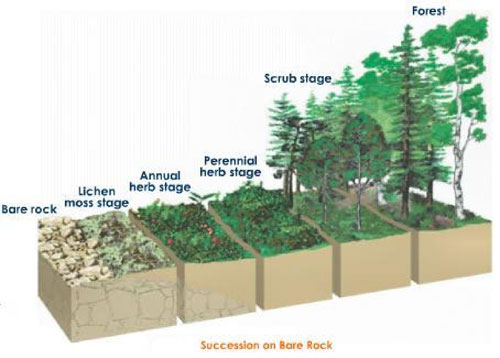 Figure 7.31: In this example, it is also plain to see how the vertical structure of the habitat changes with community composition over time. Also, as succession progresses, the plant species that continue to colonize the site successfully will be more shade-tolerant (i.e. they would have to be able to compete better under low-light conditions). In other words, you can't take a bunch of tree seedlings out into a field and expect to plant an old-growth forest. Image from URL: http://flowers4u.files.wordpress.com/2009/03/img137jpeg.jpg?w=300