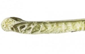 Figure 6.33: Cross section of bird bone. Image from URL: http://platospond.com/WatsonsBlog/wp-content/uploads/2009/02/image_sci_animal0291.jpg
