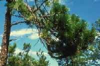 Figure 7.39: Lodgepole pine infected with dwarf mistletoe display witches' brooms (dense, multiple branches on infected lodgepoles) and dead branches. Image from URL: http://www.ext.colostate.edu/