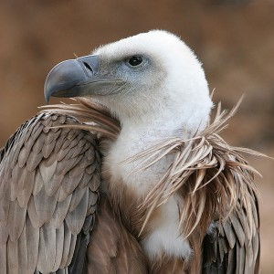 Figure 6.51: This griffin vulture presents a good example of a scavenger's beak. Image from URL: http://en.wikipedia.org/wiki/File:Eagle_beak_sideview_A.jpg