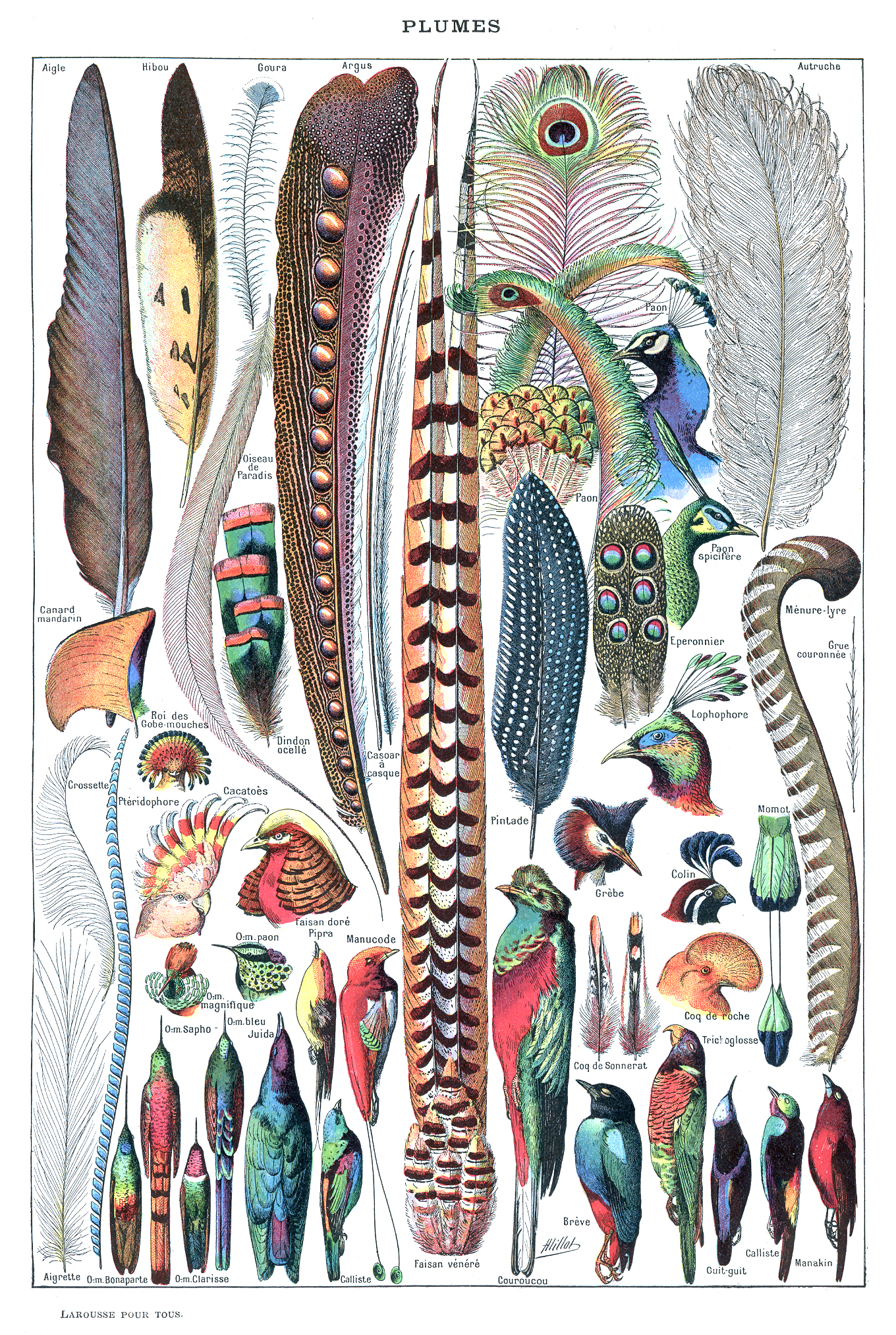 Figure 6.47: The image above shows a wide variety of bird feathers. Click on the image to open a larger version in a new window. Image from URL: http://en.wikipedia.org/wiki/File:Types_de_plumes._-_Larousse_pour_tous,_-1907-1910-.jpg