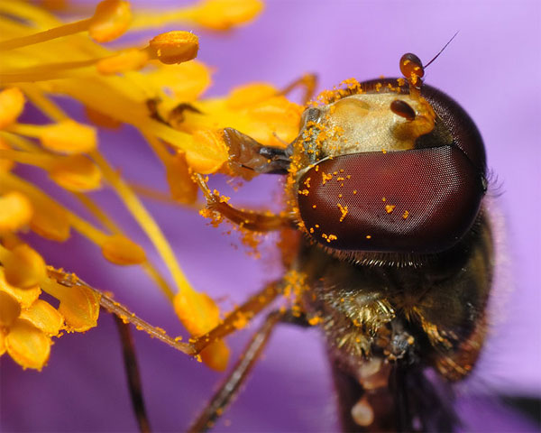 Figure 7.56: Marmalade fly sitting on a grey-haired rockrose, its face and legs covered in pollen. Image from URL: http://en.wikipedia.org/wiki/File:Episyrphus_balteatus_-_head_close-up_(aka).jpg, Author: André Karwath