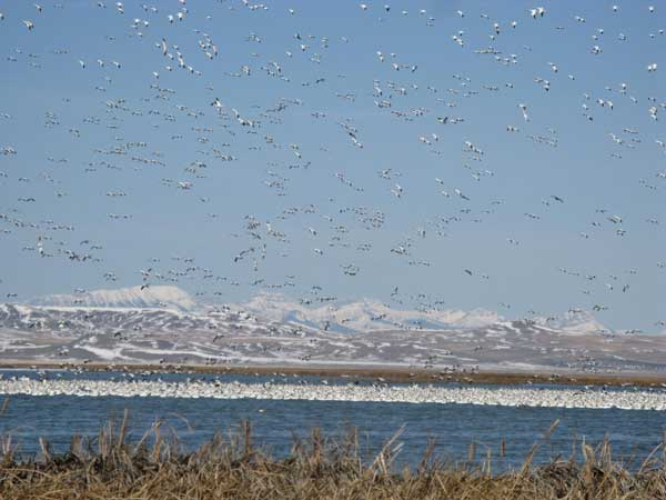 Figure 6.64: Freezeout Lake near Augusta Montana is a favorite gathering spot for these birds as they gorge on barley in stubble fields early in the morning then fly to the lakes. Image by Lorna McIntyre.