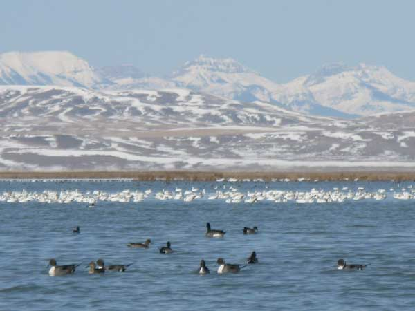 Figure 6.65: Ducks as well as geese utilize Freezout Lake during migration. Image by Lorna McIntyre.