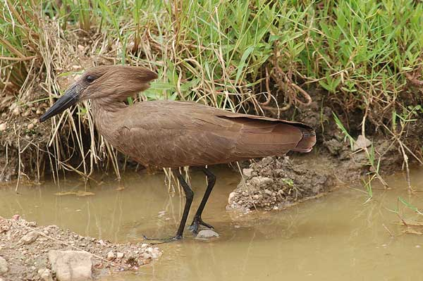 Figure 6.11: Hamerkop. Image from URL: http://en.wikipedia.org/wiki/File:Scopus_umbretta_-Serengeti,_Tanzania-8.jpg
