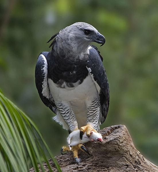 Figure 6.3: American Harpy Eagle. Image from URL: http://en.wikipedia.org/wiki/File:Harpia_harpyja_001_800.jpg