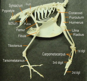 Figure 6.32: The keeled breastbone is at the center of the image of a bird skeleton. Image from URL: http://scienceblogs.com/tetrapodzoology/