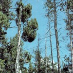 Figure 7.40: Lodgepole Pine infected with dwarf mistletoe displays dead branches. Image from URL: http://www.fs.fed.us/r6/nr/fid/fidls/fidl-18.htm