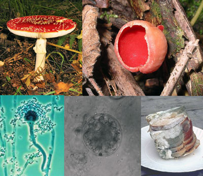 Figure 3.11: The fungi kingdom is also a subcategory of the Eucarya domain. This image is licensed under a Creative Commons Attribution Share-Alike 3.0 License, and comes from URL: https://eapbiofield.wikispaces.com/