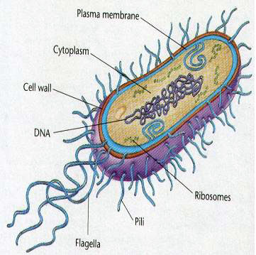 Figure 3.18: A basic illustration of a bacteria. Image from URL: http://www.norcalblogs.com/watts/