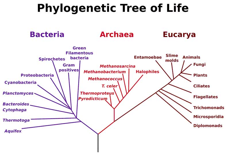 Figure 3.19:In the 1990s, the scientific community added the domain Archaea to the tree of life to reflect recent discoveries.