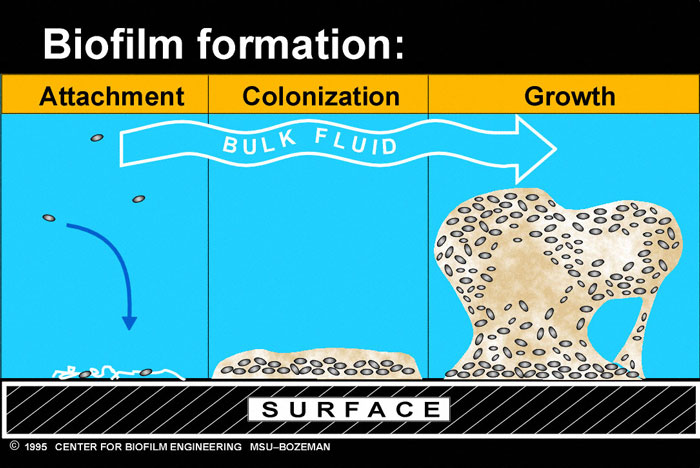Figure 3.24: This illustration shows how microbes come together to form a biofilm. Image courtesy of Montana State University from URL: http://www.uweb.engr.washington.edu/images/research/biofilmtutorial.JPG
