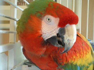 Figure 6.52: Seed-cracking beak of a macaw. Image from URL: http://en.wikipedia.org/wiki/File:Ara_hybrid_-_Catalina_Macaw.jpg
