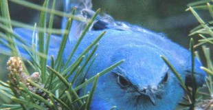 Figure 6.80: Mountain Bluebird. Image from FWP.