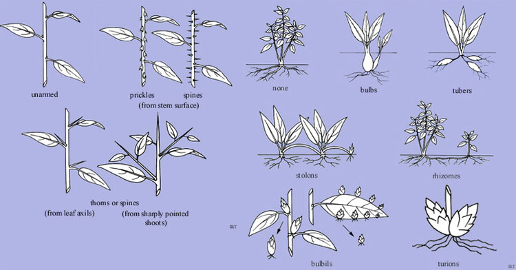 Figure 7.15: Examples of different kinds of modified stems. Image from URL: http://www.anbg.gov.au/glossary/webpubl/glosstu.htm