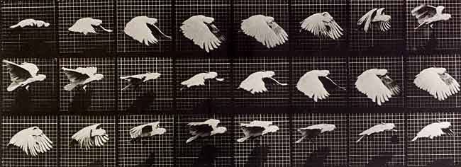 Figure 6.45: In 1887 Edward Muybridge captured this sequence of photos of a cockatiel in flight in an effort to understand just how birds fly. Image from URL: http://www.nls.uk/about/discover-nls/2009/muybridge/images/cockatiel.jpg