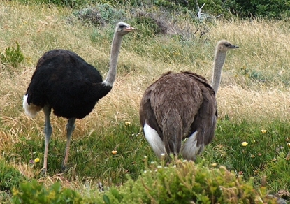 Figure 6.10: Ostriches. Image from URL: http://en.wikipedia.org/wiki/File:Ostriches_cape_point_cropped.jpg