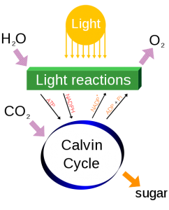 Figure 7.6: Photosynthesis changes the energy from the sun into chemical energy and splits water to liberate O2 and fixes CO2 into sugar. Image from URL: http://en.wikipedia.org/wiki/File:Simple_photosynthesis_overview.svg, Author: Daniel Mayer