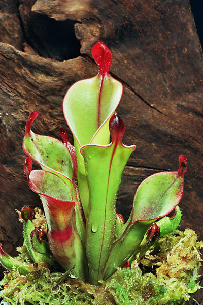 Figure 7.41: The pitcher plant utilizes a pitfall trap to capture and trap prey into a rolled leaf that contains a pool of digestive enzymes or bacteria. Image from URL: http://en.wikipedia.org/wiki/File:H_chimantensis2.jpg, Author: Andreas Eils