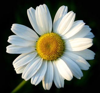 "Figure 7.46: The structures usually called ""flowers"" in the daisy family are actually groups of hundreds of individual flowers (called inflorescences) modified in different ways: ray flowers with all their petals fused on one side, and tiny disc flowers. Image from URL: http://s600.photobucket.com/albums/tt90/"