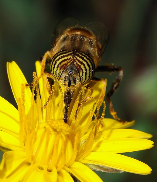 Figure 7.2: A syrphid fly (Eristalinus taeniops) pollinating a Common Hawkweed. Image from URL: http://en.wikipedia.org/wiki/File:Eristalinus_October_2007-6.jpg, Author: Alvesgaspar