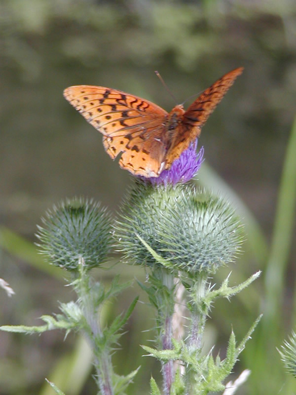 Figure 7.50: Butterflies are often attracted to brightly colored flowers, such as the purple flower on this thistle. Image from URL: http://www.fs.fed.us/wildflowers/pollinators/butterflies.shtml, Author: Grant Lau