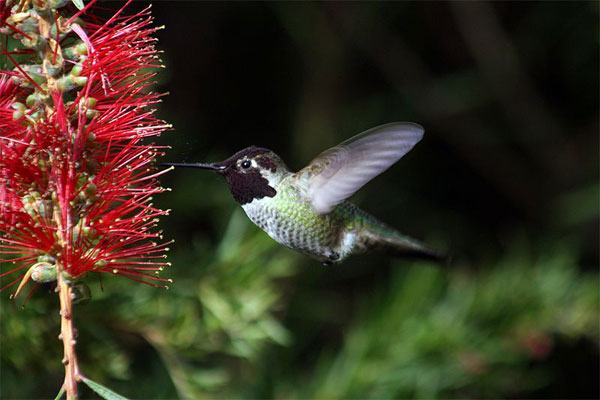 Figure 7.49: Red flowers are often pollinated by hummingbirds. This hummingbird feeds on nectar, while pollen collects on it. Image from URL: http://en.wikipedia.org/wiki/File:Hummingbird_in_ggp_7.jpg, Author: Mila Zinkova