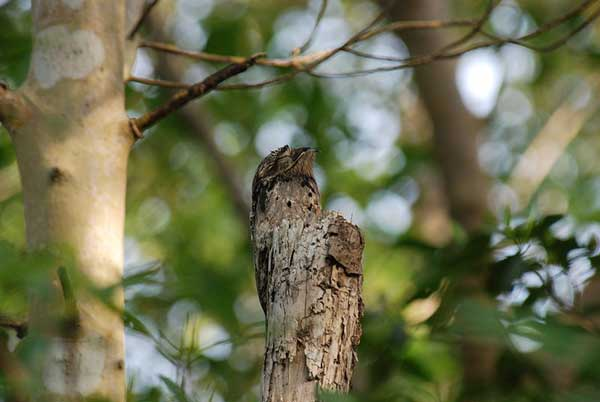 Figure 6.5: Common Potoo. Image from URL: http://en.wikipedia.org/wiki/File:Nyctibius_griseus_471885191_27f931630d_o.jpg