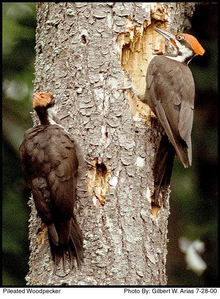 Figure 6.18: Pileated Woodpecker. Image from URL: http://www.kahle.org/tweeters/images/2pileated.jpg
