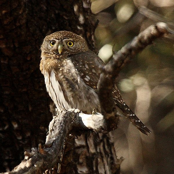 Figure 6.22: Northern Pygmy-owl. Image from URL: http://en.wikipedia.org/wiki/File:Northern_pygmy-owl.jpg